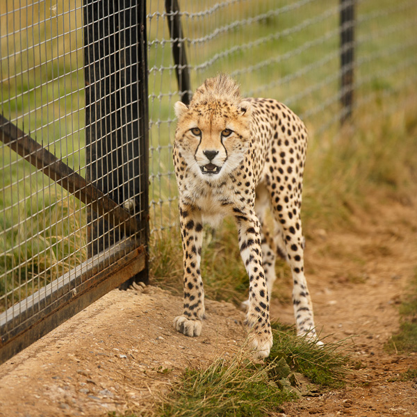 Zoo photography - cheetah through the bars