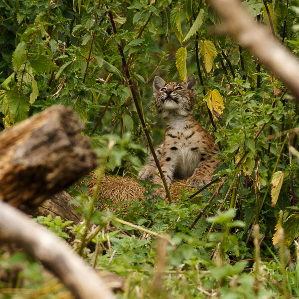 European lynx cub eyes up the nettles in it's enclosure