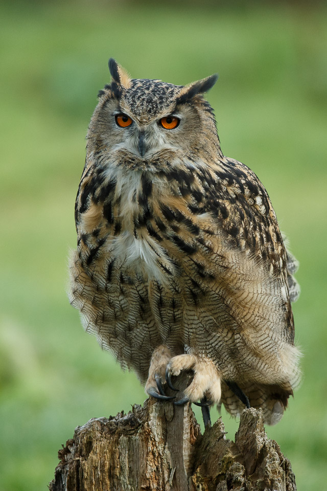 Eagle owl at the British Wildlife Centre