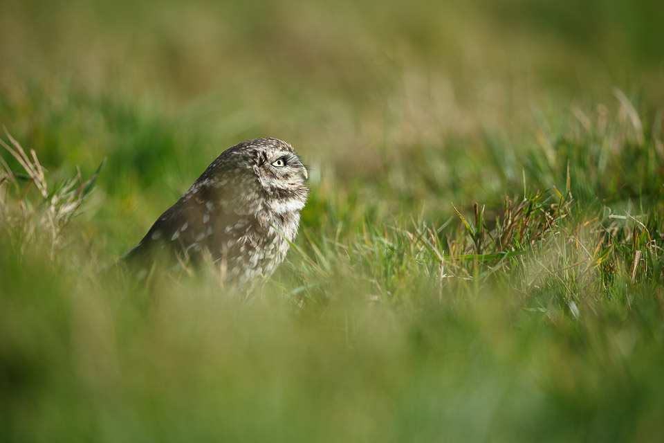 Little owl at the British Wildlife Centre