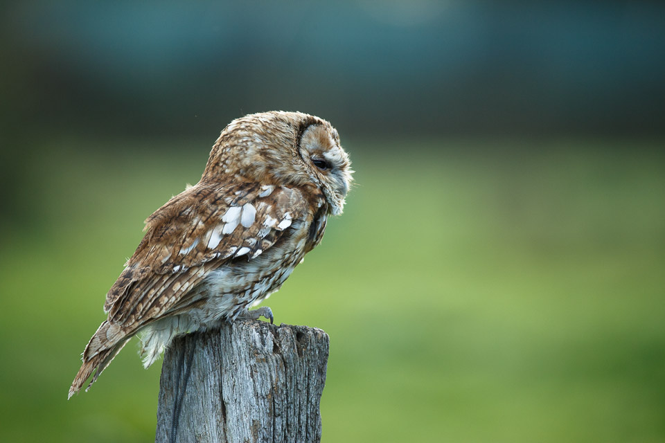 Indigenous British birds and mammals at the British Wildlife Centre.