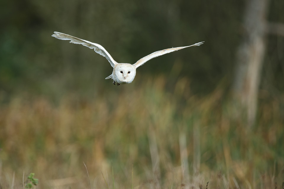 Barn owl at the British Wildlife Centre.