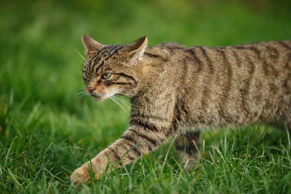 Wild cat at the British Wildlife Centre.