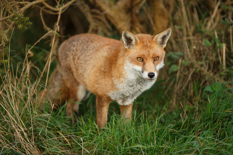 Fox at the British Wildlife Centre.