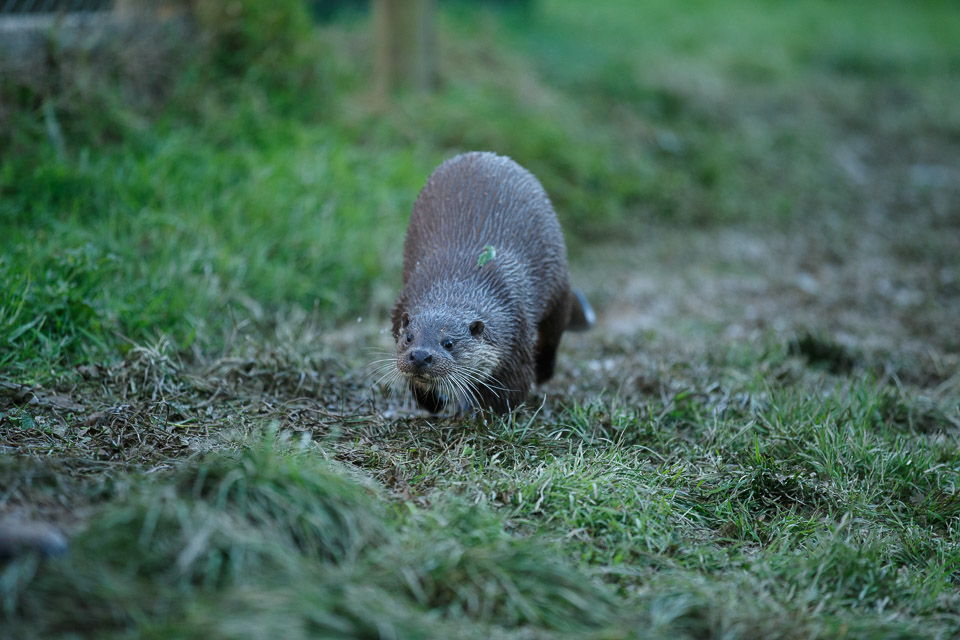 Otters at the British Wildlife Centre.