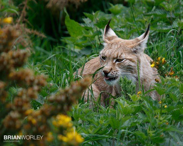 Whipsnade Zoo European Lynx