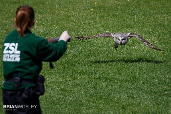 Whipsnade Zoo European Eagle Owl