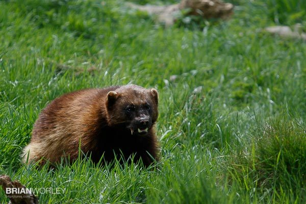 Whipsnade Zoo wolverine