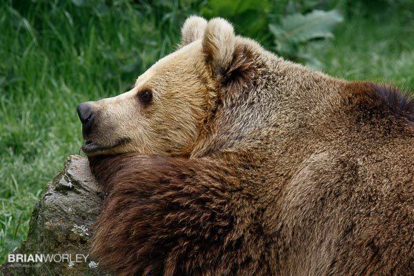 Whipsnade Zoo European Brown Bear