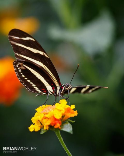 Whipsnade Zoo Butterfly