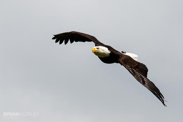 Whipsnade Zoo Bald Eagle