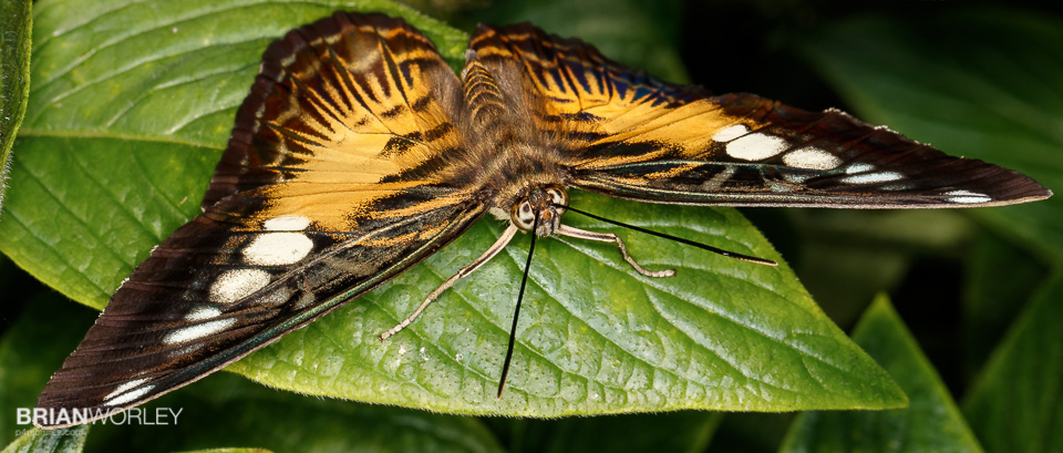 Whipsnade, Hertfordshire. 14 July 2016. Butterflies at the Whipsnade zoo butterfly house lit with MR-14EX II macro ring flash. photo by Brian Worley