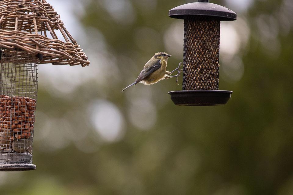 blue tit landing on seed feeder