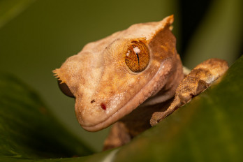 macro gecko close-up