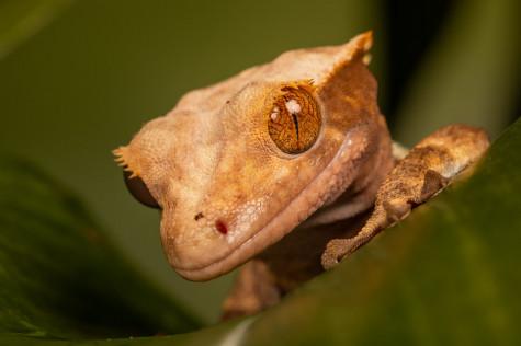 macro gecko close-up