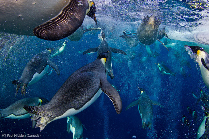 Paul Nicklen from Canada wins Wildlife Photographer of the Year 2012