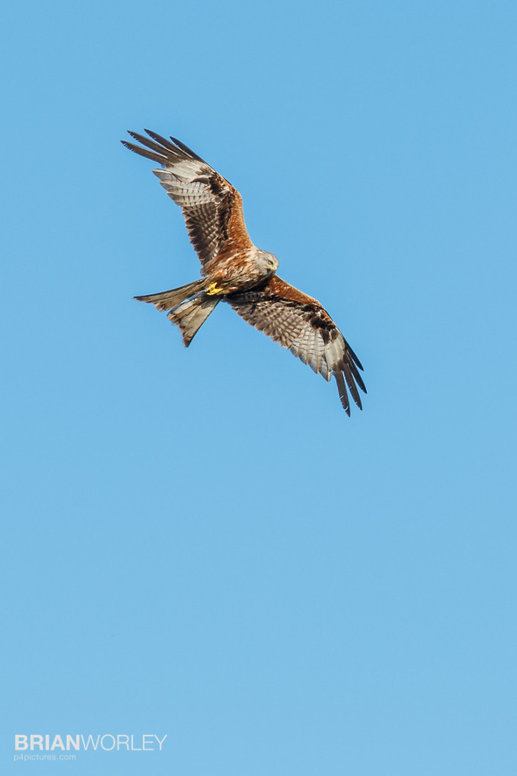 Red kites overhead